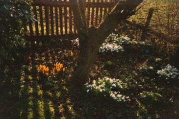 Snowdrops under a tree